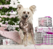 Chinese Crested Dog, 1 year old Stock Images