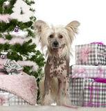 Chinese Crested Dog, 1 year old, with Christmas Stock Image
