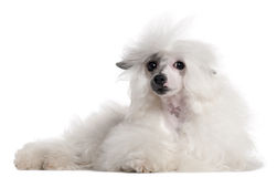 Chinese Crested Dog, 1 year old, lying Royalty Free Stock Images