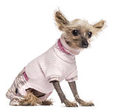 Chinese Crested Dog, 10 years old, dressed Royalty Free Stock Images