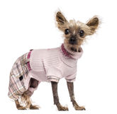 Chinese Crested Dog, 10 years old, dressed Stock Image