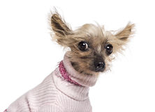Chinese Crested Dog, 10 years old, dressed. In pink and looking at camera against white background stock photo