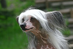 The Chinese Crested Dog Stock Photos