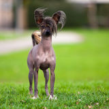 Chinese Crested Dog. On green grass. Outdoor stock photos