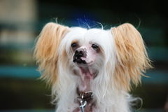 The Chinese Crested Dog Royalty Free Stock Images