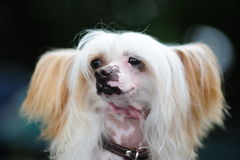 The Chinese Crested Dog Royalty Free Stock Photography