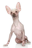 Chinese crested dog Royalty Free Stock Photos