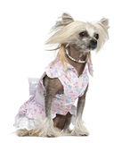 Chinese Crested Dog, 2 years old, sitting Royalty Free Stock Images