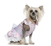 Chinese Crested Dog, 2 years old, sitting Royalty Free Stock Image