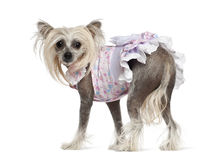 Chinese Crested Dog, 2 years old, standing Stock Photo