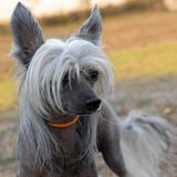 Chinese Crested Dog. Portrait of a purebred Chinese Crested Dog in the nature Stock Photography