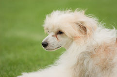 Chinese crested dog. Powder Puff royalty free stock image