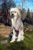 Chinese Crested Dog Stock Photo