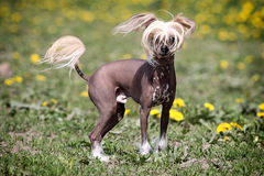 Chinese crested dog. Stand in field stock image