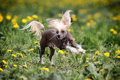 Chinese crested dog. Run in field stock photography