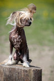 Chinese crested dog. Sit on stamp in field royalty free stock images