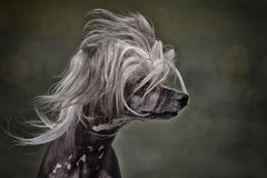 Chinese crested dog. Head in wind royalty free stock images