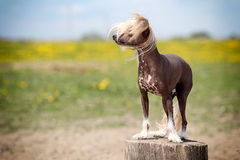 Chinese crested dog. Stand on stamp in field royalty free stock photo