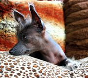 Chinese crested dog. Funky Chinese crested dog laying on her couch royalty free stock images