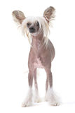 Chinese crested dog. Isolated against white background royalty free stock images