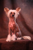 Chinese crested dog. Against studio background royalty free stock photos