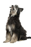 Chinese Crested Dog. Puppy of a fluffy version of breed Chinese Crested Dog Stock Photo