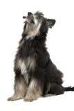 Chinese Crested Dog Stock Photo
