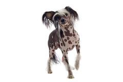 Chinese crested dog Stock Photos
