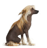 Chinese Crested Dog, 9 months old, sitting Stock Photos