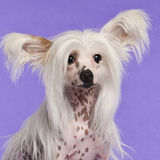 Chinese Crested Dog, 9 Months Old, Sitting Stock Photography