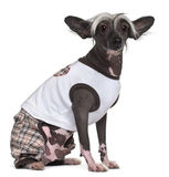 Chinese Crested Dog, 9 years old, dressed up Stock Image