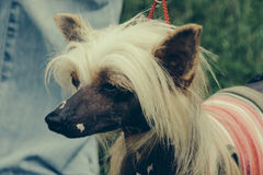 Chinese Crested Dog Stock Photos