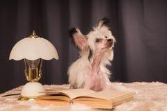 Chinese Crested dog on black background Stock Image
