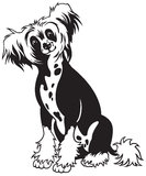 Chinese crested dog black white. Chinese crested dog breed,black and white picture,front view image ,sitting pose Stock Photo
