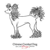 Chinese Crested Dog. Black and white graphic drawing of a dog. Vector illustration Royalty Free Stock Photography