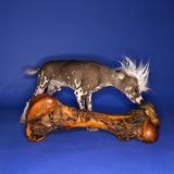 Chinese Crested dog and bone. Chinese Crested dog smelling big bone royalty free stock photos