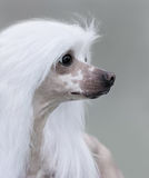 Chinese Crested Dog Breed. Royalty Free Stock Photography