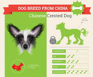 Chinese Crested Dog breed  infographics. This dog breed from China Royalty Free Stock Photo