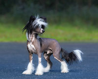 Chinese Crested Dog Breed. Male dog. Stock Photo