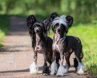Chinese Crested Dog Breed. Male and Female dog. Royalty Free Stock Images