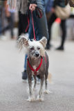 Chinese Crested Dog, Canis lupus familiaris, on a leash. Stock Image