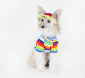 Chinese Crested dog. Cute Chinese Crested dog (Powderpuff variety, puppy) wearing a bright multicolored shirt, beads and a hat, on a white background stock images