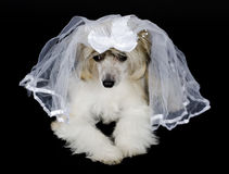 Chinese Crested dog. Cute sad Chinese Crested dog (Powderpuff variety) wearing a bridal veil, isolated on black Stock Images