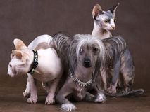 Chinese Crested Dog, Don Sphynx and Peterbald. On brown non-woven background royalty free stock image