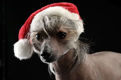 Chinese Crested Dog dressed up Santa Claus in a dark studio. Chinese Crested Dog dressed up Santa Claus in dark studio Stock Photo