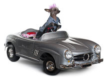 Chinese Crested dog driving convertible