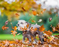 Chinese Crested Dog in falling autumn fall leaves. A mostly hairless dog in a park, countryside meadow or field of grass. green background. clear eyes. sunny stock photos