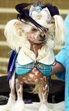 Chinese crested dog fashion statement coat and head wear at fun show. A very fun and unique image of a Chinese Crested breed of puppy dog here at a fun fancy stock photos