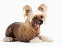 Chinese Crested Dog female Stock Images