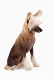 Chinese Crested Dog female Royalty Free Stock Photos